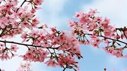 天适从化樱花悠乐园
