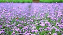 济南章丘紫缘香草园