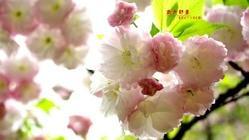 武汉大学樱花节