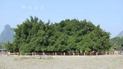 大榕树风景区